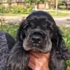 Puppy Ryan
