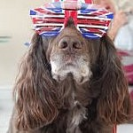 cocker spaniel with red wht and blue glasses