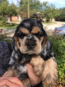 puppy-annabelle